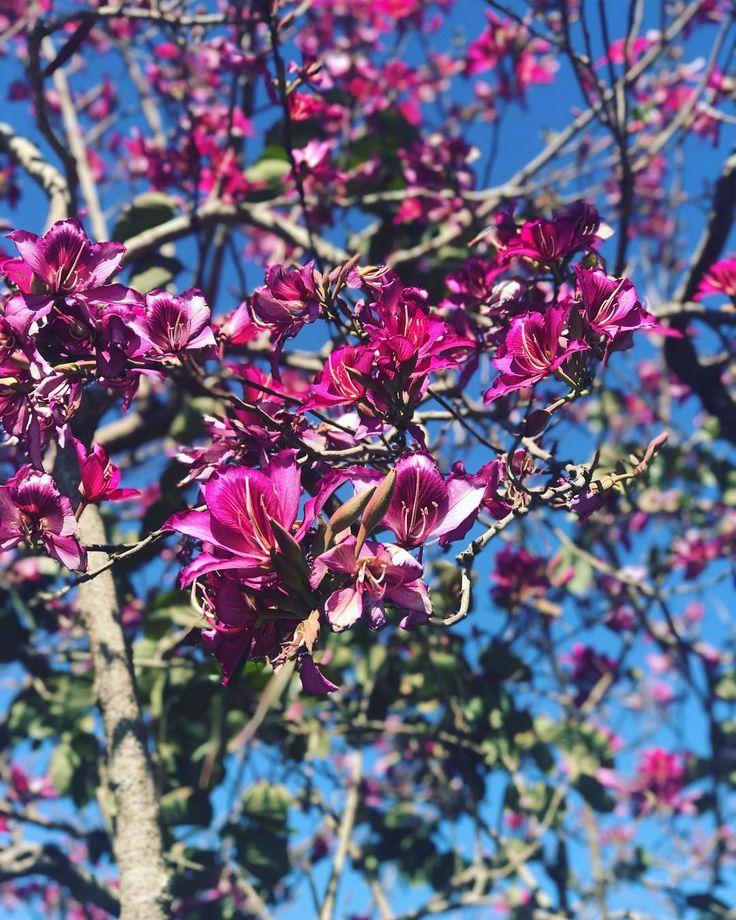 Vibrant . . . . . .  #pinktree #spring #pinkflowers #travel #wanderlust #instatravel #travelgram #tourist #tourism #vacation #holiday #traveling #trip #love #couple #travelpic #travelbug #tree #pink #love #flower #instagood #beautiful #instadaily #photooftheday #happy #instagram #nature #australia