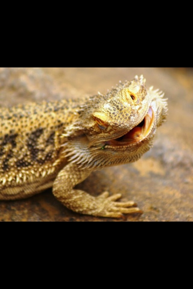 Cute bearded dragon! | Cute bearded dragons | Pinterest
