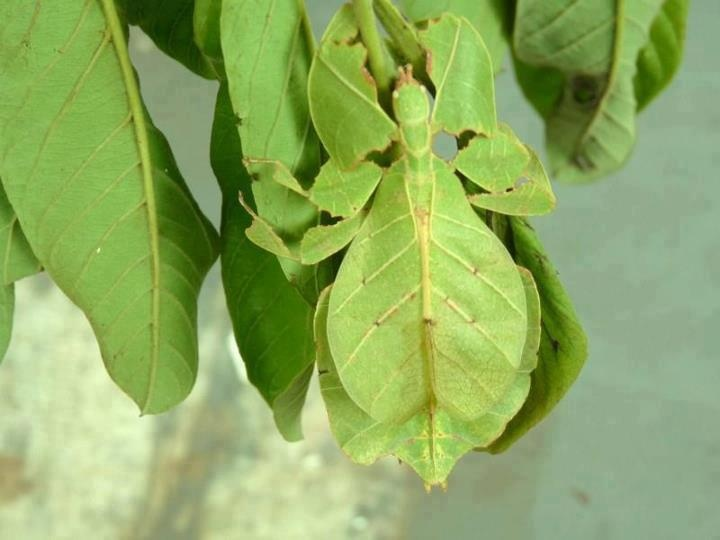 leaf insect camouflage - photo #11