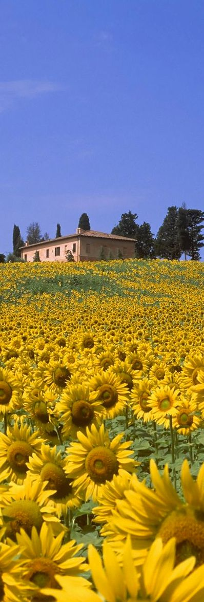 Sunflowers in Tuscany.Italy