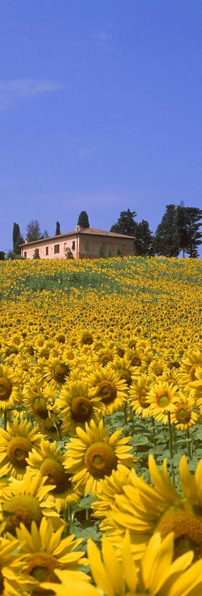 Girasoles en Toscana, Italia, en la provincia de Siena, Val d'Orcia.