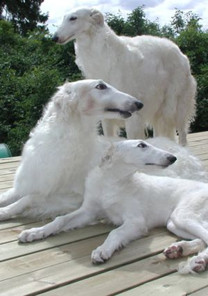 Borzoi ('Russian Wolfhound', Originally from Central Asia), Cousins of Greyhounds, they are very fast, and very pretty