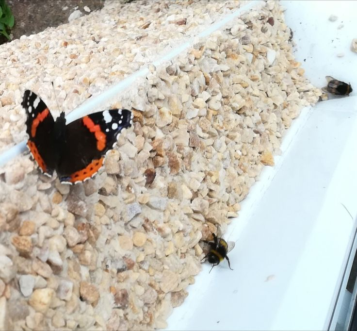 Red Admiral & bumble bees Sept 2017