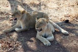 TWA-0053766 © WestPix Young lions in Zimbabwe. Picture: Stephen Scourfield The…
