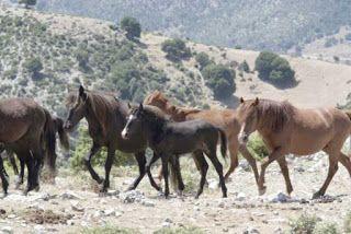 Θεσπρωτία: Τα άγρια άλογα στα βουνά του Σουλίου και Φιλιατών θα πρέπει να διασωθούν