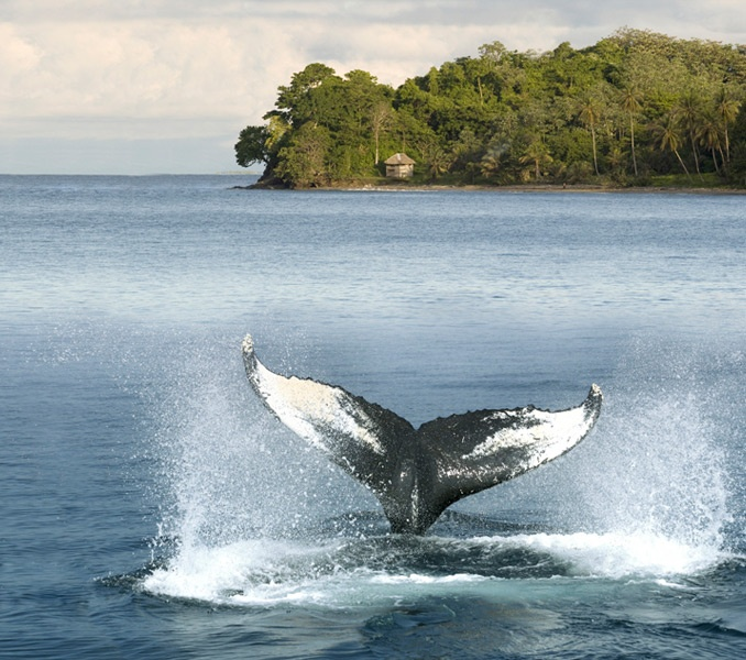 Humpback Whale: the privilege of the Colombian Pacific