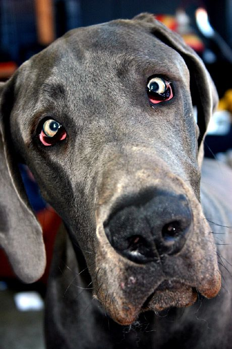 Best Dog Food For Great Danes Uk