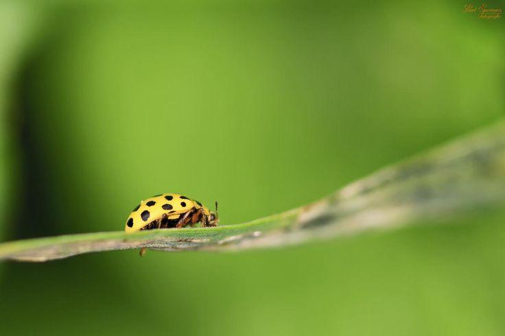 Green Lady Bug on Plant Leaf - get this free picture at Avopix.com    ▶ https://avopix.com/photo/46862-green-lady-bug-on-plant-leaf    #ladybug #insect #beetle #arthropod #leafhopper #avopix #free #photos #public #domain