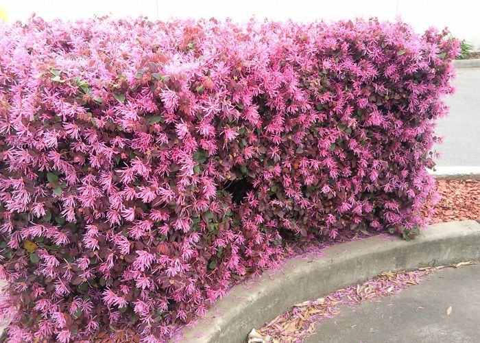 How to Use Australian Native Plants to Grow a Hedge