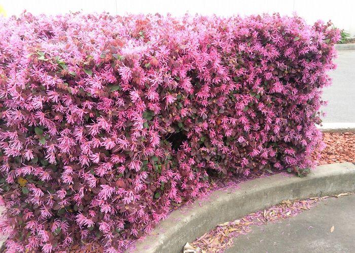How to Use Australian Native Plants to Grow a Hedge