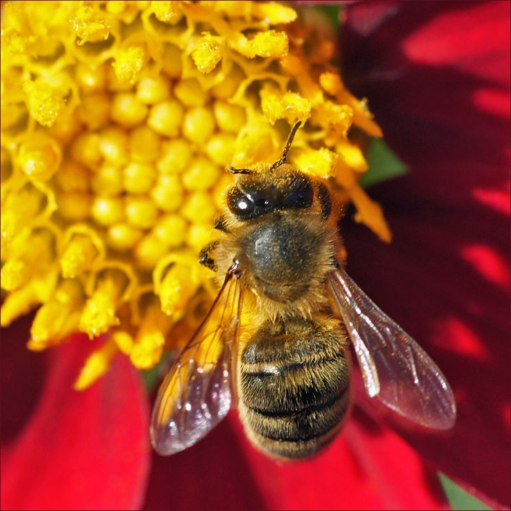 Western honey bee or European honey bee (Apis mellifera) on a dahlia flower.