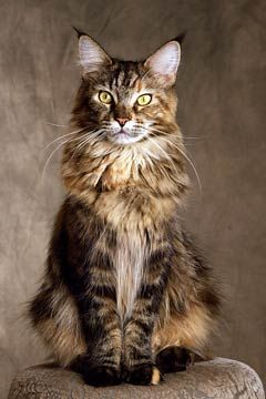 Maine Coon Cat - These are great cats, full of curiosity and personality