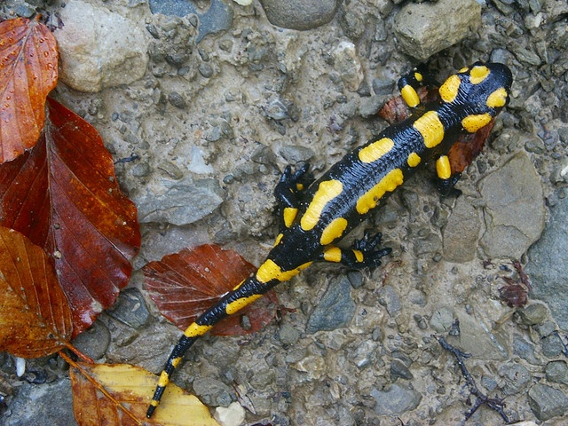 Fire Salamander by Strocchi, via Flickr