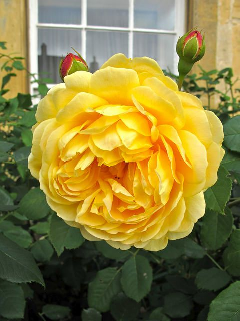 'Golden Celebration' English rose in the Cotswolds
