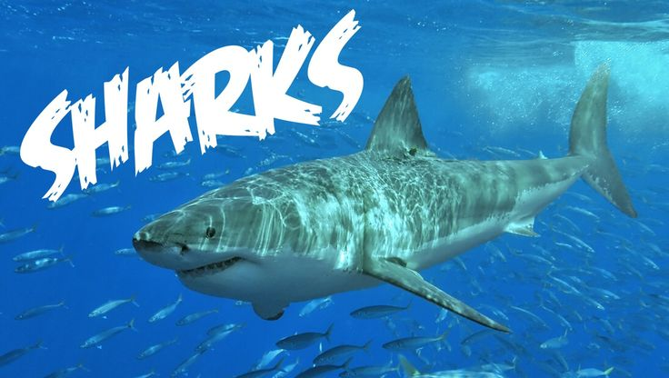 All About Sharks for Children: Animal Videos for Kids - FreeSchool