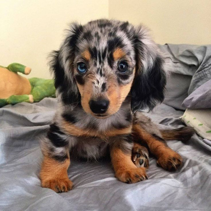 Dapple miniature dachshund ♥