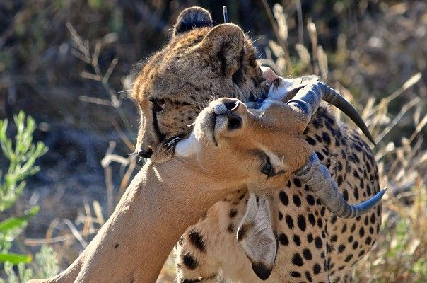This cheetah executed the perfect hunt at Gomoti Tented Camp, one of the stops on the Great Wilderness Journey #Botswana #safari http://www.wilderness-safaris.com/explorations