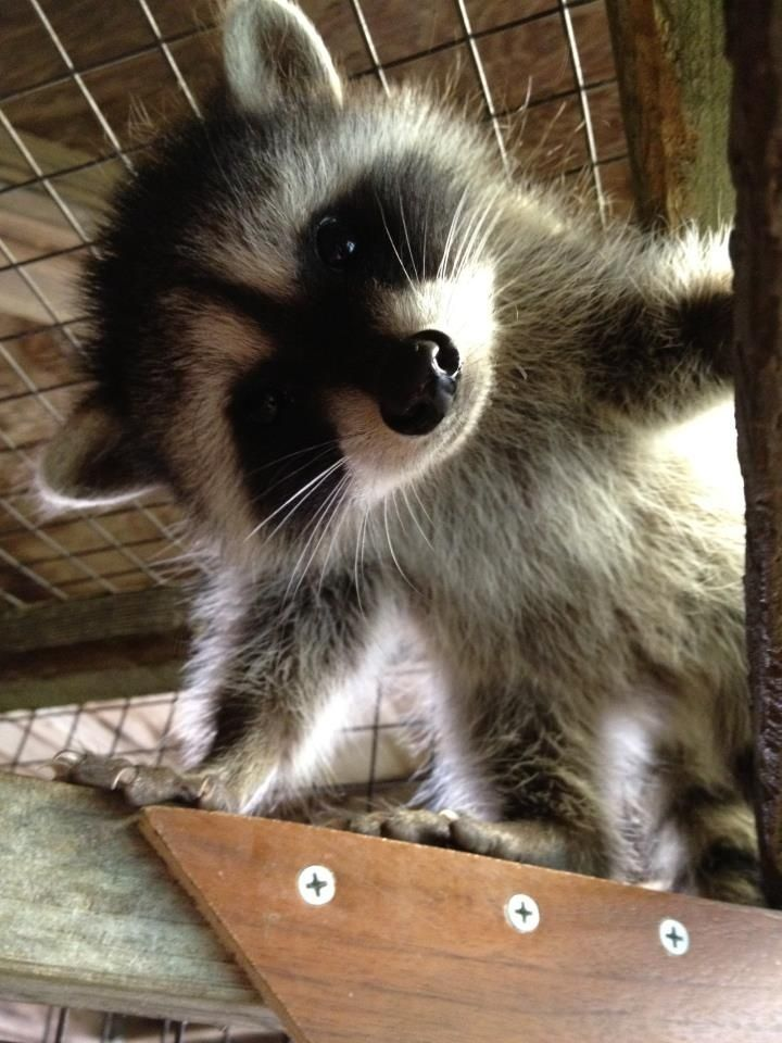 Baby raccoon (compliments of Sonoma County Wildlife Rescue). #animals