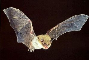 How to attract Bats to the Garden
