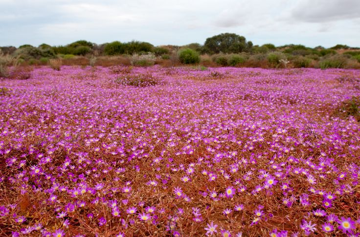 Images of Australia: wildflowers of Western Australia - Australian Geographic