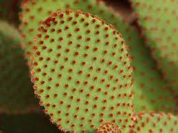 """Résultat de recherche d'images pour """"Green Cactus with red flowers Prickly Pear"""""""