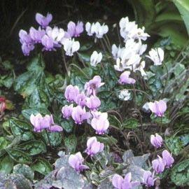 Vivace caduque idéale en couvre-sol. Floraison mauve-rose à l'automne.