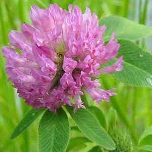 Herbal Remedies For Menopause