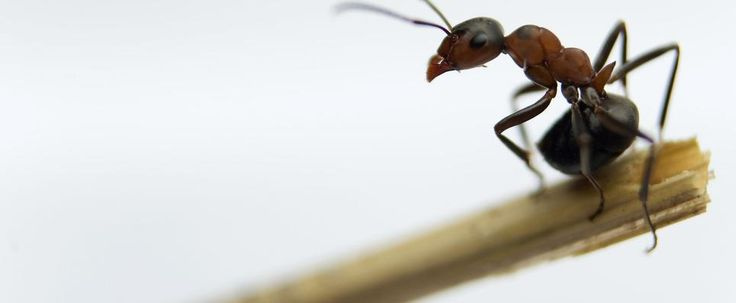 ant pest control service eliminates ant problems. Schedule a free inspection with a certified ant exterminator today
