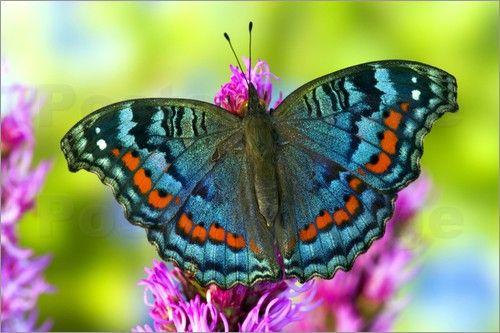 Tropical Butterfly Posters by Darrell Gulin