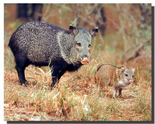 Simply amazing! This amazing piece of art is a great addition for your home decor. This poster captures the image of wild pig walking with its baby looking very adorable, sure to grab lot of attention and make a charming addition into your home. This poster delivers a sharp vivid image with a high degree of color accuracy which ensures long lasting beauty of the product. Order today and enjoy your surroundings.