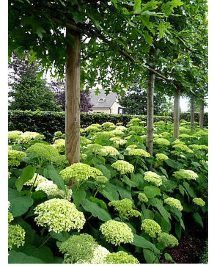 interesting use of pin oaks as pleached trees under planted with hydrangea annabelle which. Black Bedroom Furniture Sets. Home Design Ideas