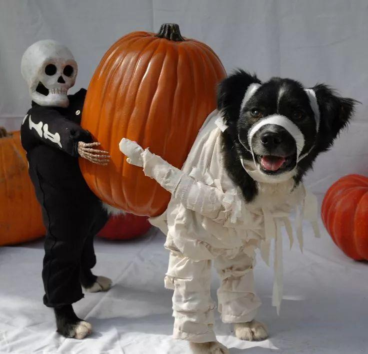 mummy dog halloween costume - Dog Halloween Ideas