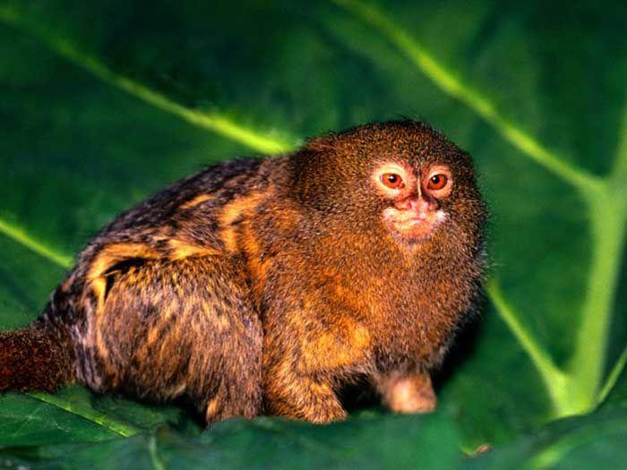 Pygmy Marmoset Monkeys for Sale   Pygmy Marmoset