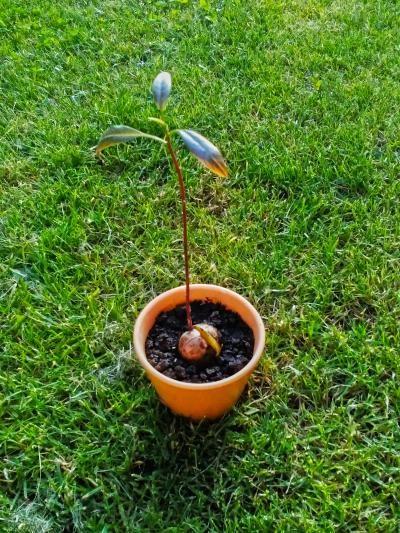 Máte rádi avokádo? Já ano❣ Nejraději mám odrůdu Hass, které se však přezdívá i ropucha :D No, i přes odpudivou přezdívku tohle pokrčené, hrbolaté a hnědé avokádo je prostě nejlepší❣ Všude jsem četla, vypěstuj si své vlastní avokádo... No a proč ne? ▶ A takhle vypadá mé rostoucí avokádo v květináči teď :) Ještě vydržet cca 4 roky a avokádo bude mít svou vlastní úrodu :D Mňam❣ Vyzkoušejte to taky ;) Mějte se krásně, lidi❣ /// Odkaz na mé sociální sítě a blog ▶ www.sobotkovabarbora.com ◀
