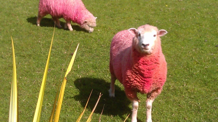 TO DO IN MATAKANA - Extremely friendly curious sheep.  Sheepworld puts on a great show for those travelling to the Bay of Islands.   #activities #auckland #matakana