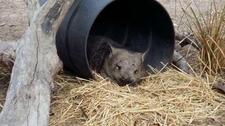 Wombat at the Moonlit Sanctuary