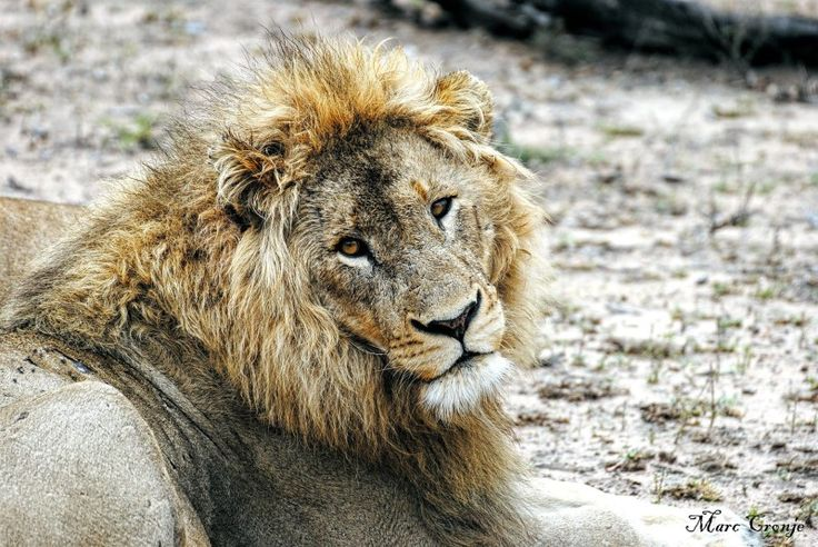 Kruger Park Top 10 Male Lion looking Dirty