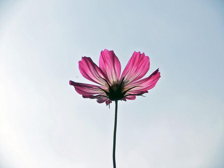 one chance in a lifetime - 太陽の光で透ける花びらが好き。 青空に向かって咲く花が好き。