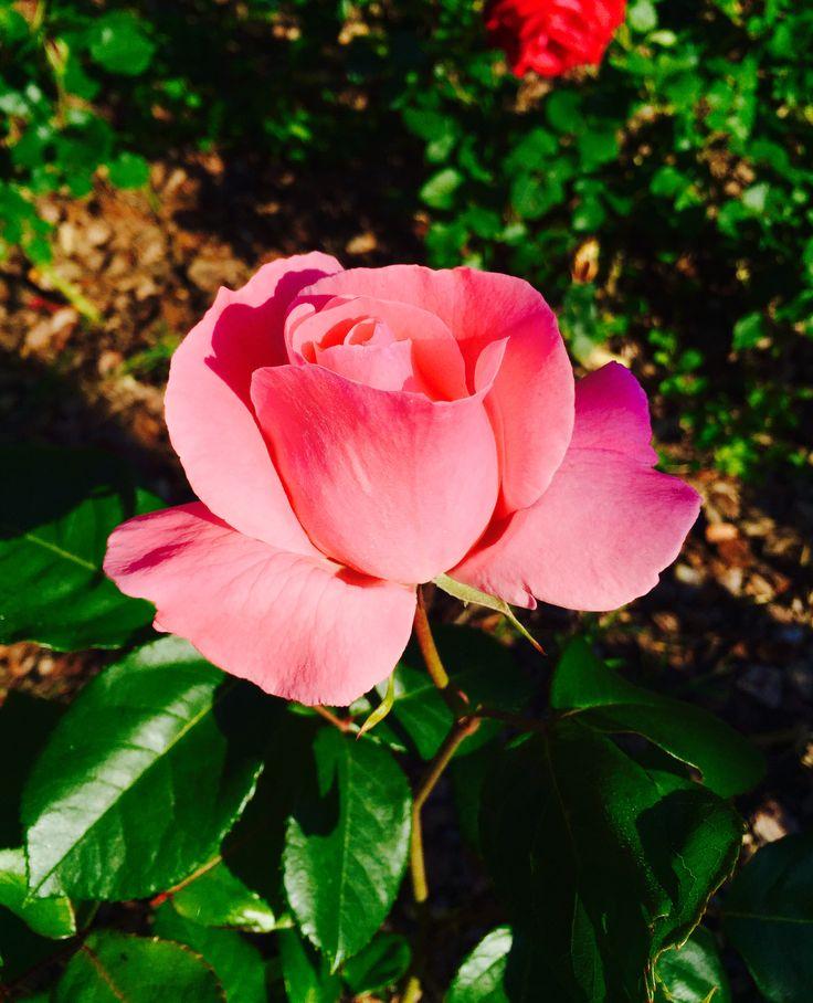 Una rosa per il mondo