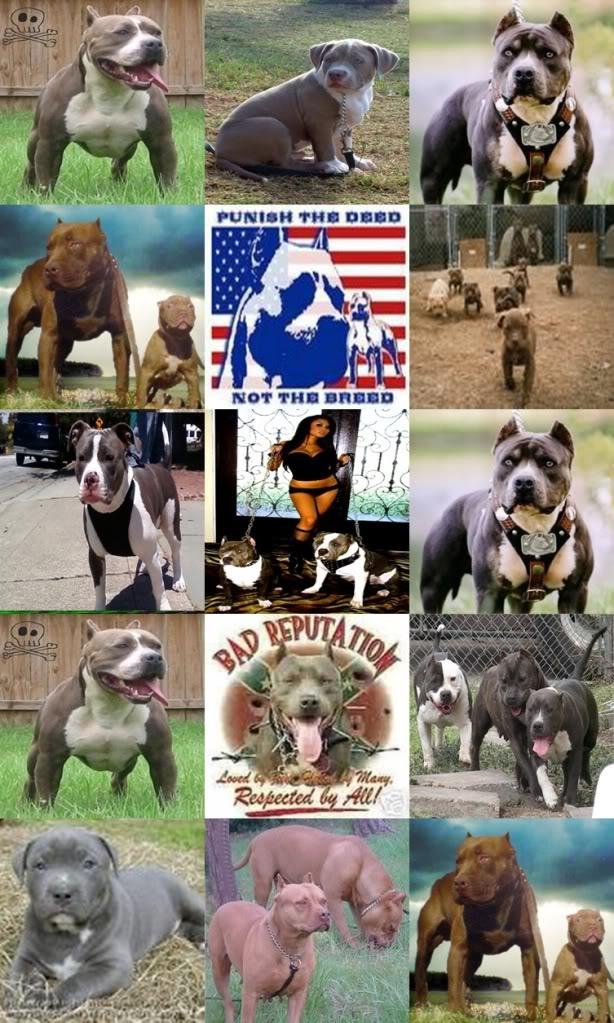 pitbulls image by llisallindsay - Photobucket