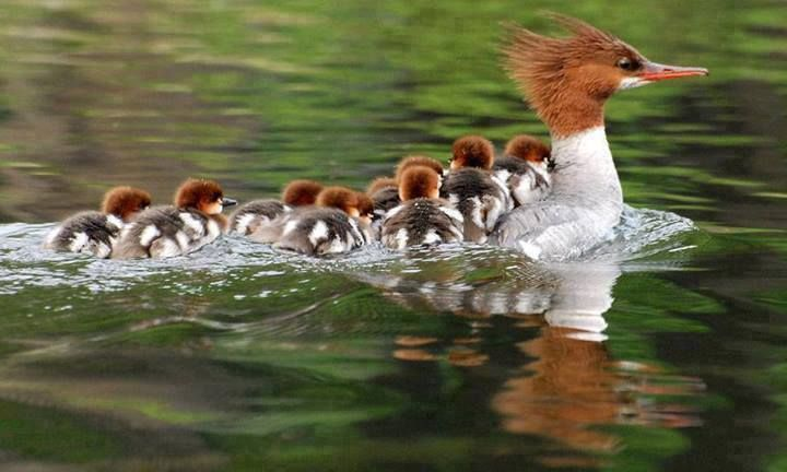All Aboard!  Duck and ducklings