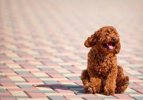 KITTEN MITTEN: Miniature poodle