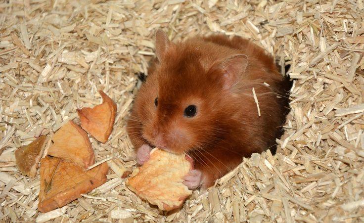 Vallmos Hamstrar - Chocolate sable LH satin