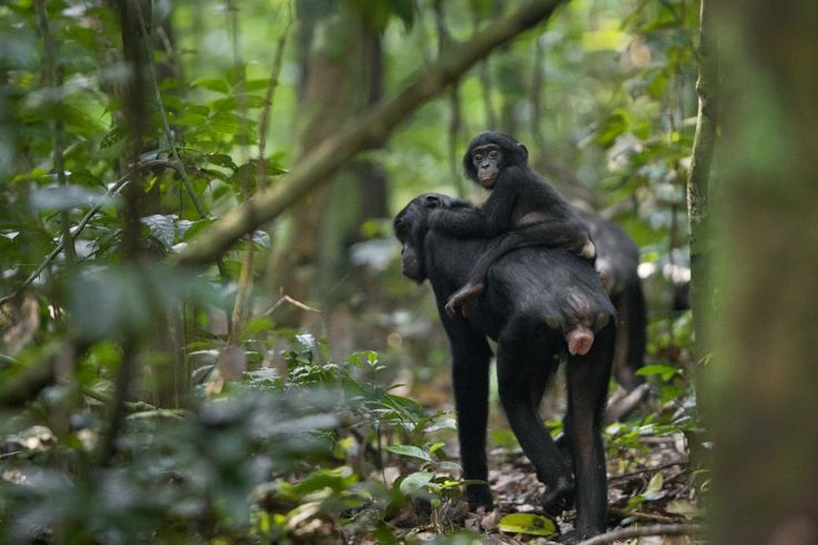 01 June 2011 An infant bonobo rides on its mother's back while a group of the animals travels above between fruit trees in Salonga National Park, in the Democratic Republic of Congo. Bonobos, like chimpanzees, move a fair amount of time on the ground, but are also excellent and skilled climbers.