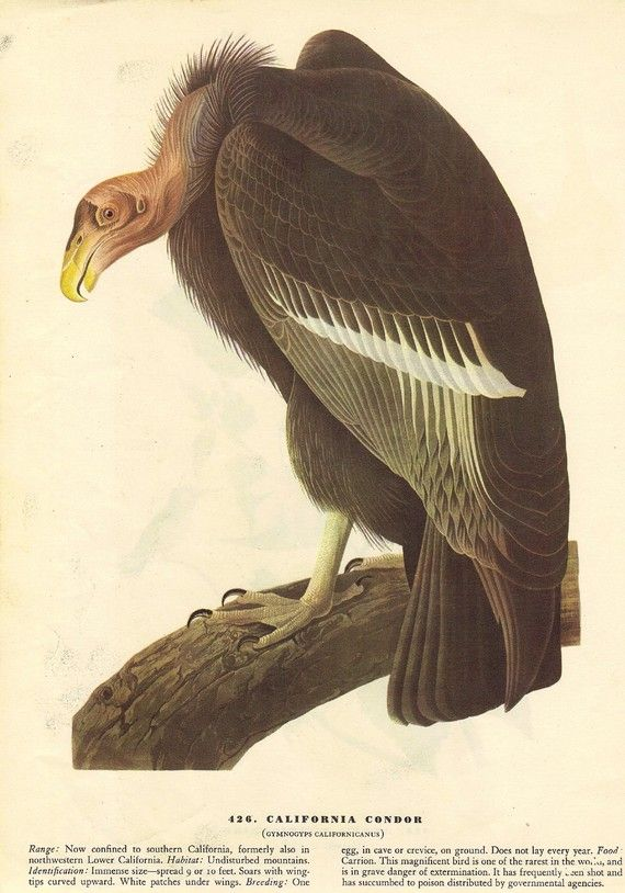 California Condor-John James Audubon