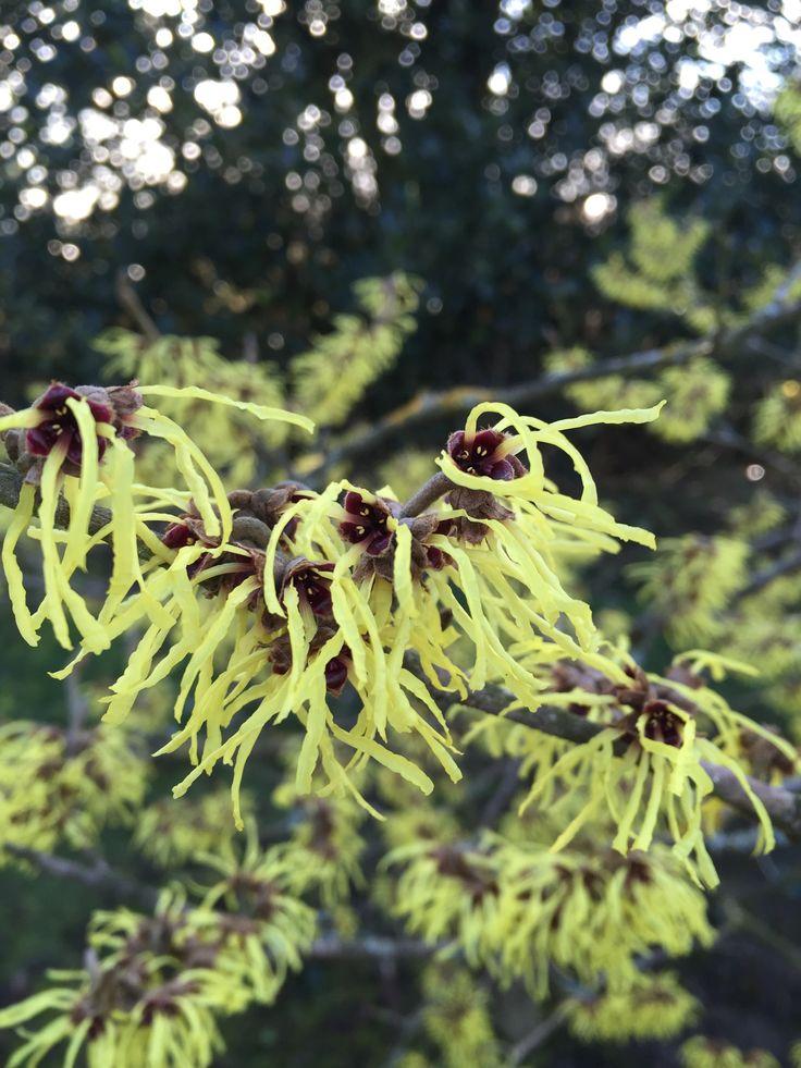Stunning, scented flowers - Hamamelis mollis 'Pallida'