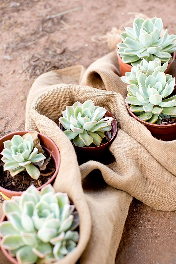 succulent wedding favors #succulent #weddingfavors #weddingchicks http://www.weddingchicks.com/2014/02/27/south-africa-farm-wedding/