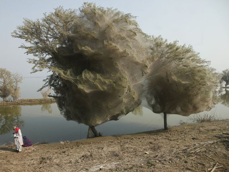 After a flood hit the Pakistani village of Sindh in 2010, millions of spiders crawled to safety in the trees and spun their webs. The result led to fascinating web-cocooned trees.