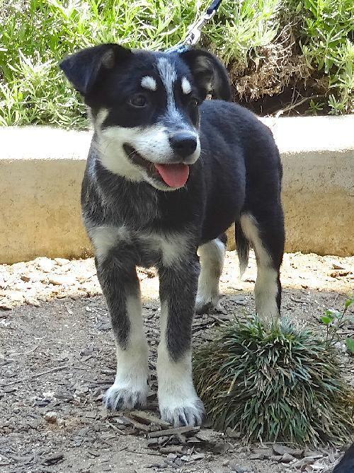 siberian husky australian cattle dog mix