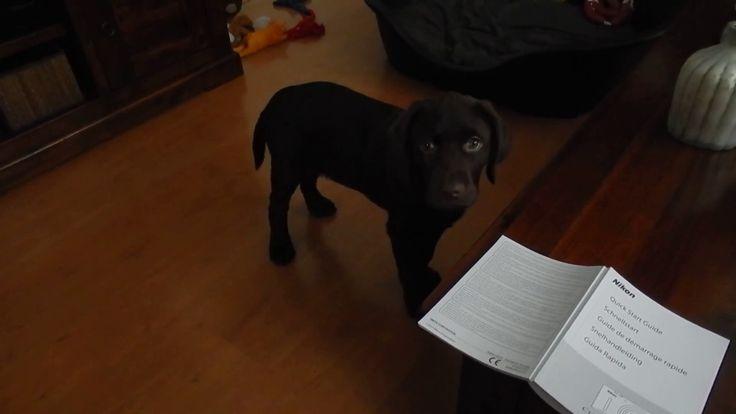 Grappig filmpje van onze chocolade bruine Labrador pup Dexter, voor het ...